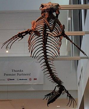 Mosasaurinae - Mounted skeleton of Mosasaurus conodon, Minnesota Science Museum