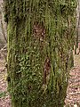 Moss cover on birch tree - geograph.org.uk - 677722.jpg