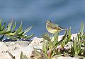 Motacilla flava - Western Yellow Wagtail - Sarı kuyruksallayan 06.jpg