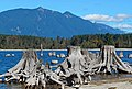 Mount Teneriffe Rattlesnake Lake tree stumps.jpg
