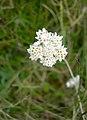 Mountain Everlasting Flower Head - geograph.org.uk - 810161.jpg