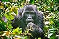 Mountain Gorilla, Bwindi, Uganda (16140923041).jpg