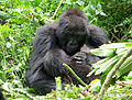 Mountain gorillas (8209002803).jpg