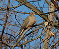 Mourning-Dove.jpg