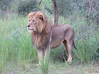 Murchison falls lion.jpg