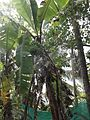 Musa × paradisiaca - Kerala 1.jpg