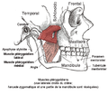 Muscle pterygoidien lateral.png