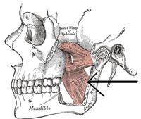 Musculuspterygoideusmedialis.png