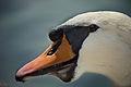 Mute Swan CloseUp.jpg