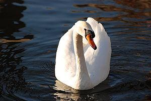 Mute Swan Osaka.jpg