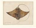 Myliobatis spec. - bovenaanzicht - 1769 - Print - Iconographia Zoologica - Special Collections University of Amsterdam - UBA01 IZAA100053.tif