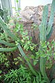 Myrtillocactus geometrizans 0zz.jpg