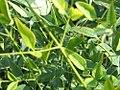 Nandina domestica Heavenly Bamboo 2zz.jpg