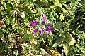 Narrow leaved Bugloss Ferragudo Portugal 05.03.16.16 (24936953864).jpg