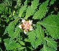 Nasa triphylla, a powerful nettle. (9375697264).jpg