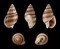 Nassarius reeveanus forma zonalis 01.JPG
