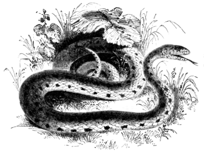 Natural History, Reptiles/Ophidia - Wikisource, the free online library