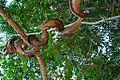 Nature lankawi MAS-2.jpg