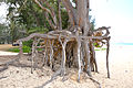 Neat tree roots at Bellows Beach Park - Oahu - Hawaiian Islands - Hawaii, USA.jpg