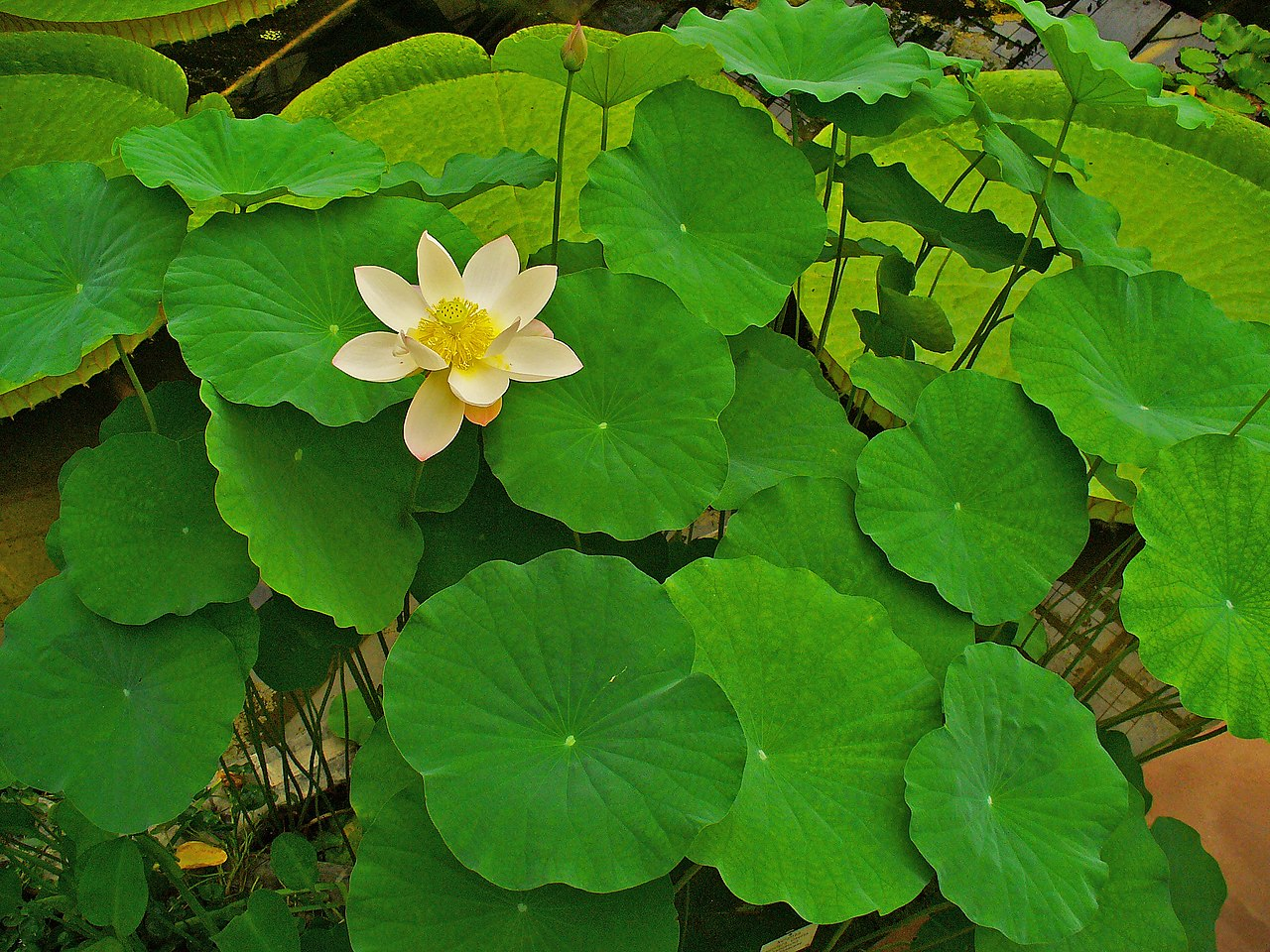 Permaculture plants water lotus temperate climate permaculture izmirmasajfo
