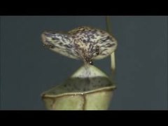 File:Nepenthes gracilis video1.ogv