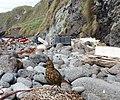 Nesocichla eremita -Inaccessible Island, British overseas territory-8 (1).jpg