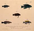 Neue Wirbelthiere zu der Fauna von Abyssinien gehörig (1835) Larabicus quadrilineatus + Malacanthus latovittatus + Pseudochromis olivaceus + P. flavivertex & Plesiops coeruleolineatus.png