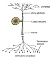 Neurone unipolaire.png