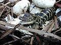 Newly Hatched Baby Alligators (1), NPSPhoto (9247533625).jpg