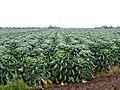 Nice crop of brussels, Swineshead, Lincs - geograph.org.uk - 84483.jpg