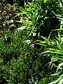 Nicotiana mutabilis - Flickr - peganum.jpg