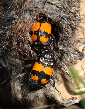 Nicrophorus vespilloides in dead rodent flash reduced.jpg