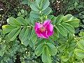 Noordwijk - Coepelduyn - Rimpelrood (Rosa rugosa) - pink.jpg