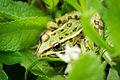 Northern Leopard Frog (Lithobates pipiens) (18554041746).jpg