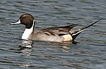 Northern Pintail (Male) I2 IMG 1123.jpg
