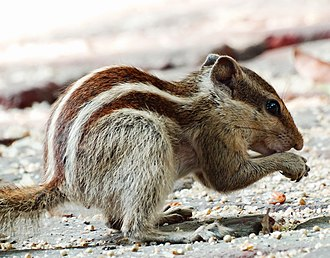 Northern palm squirrel - Image: Northern palm squirrel at gandhi museum
