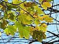 Norway Maple (31016270765).jpg