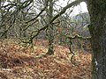 Oaks in winter at Holehouse Linn - geograph.org.uk - 1107237.jpg