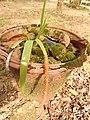 Oberonia santapaui-5-bsi-yercaud-salem-India.jpg