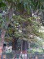 Ochna obtusata (2367092798).jpg