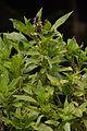 Ocimum basilicum - Agri-Horticultural Society of India - Alipore - Kolkata 2013-01-05 2276.JPG