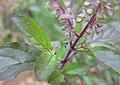 Ocimum tenuiflorum 21.jpg