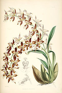 Odontoglossum luteopurpureum - pl. 17 - Bateman - Monogr.Odont