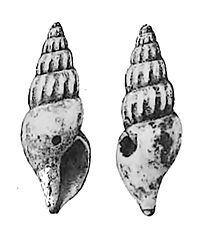 Oenopota pyramidalis 001.jpg