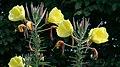 Oenothera (Ger~Nachtkerze) DSC1643-1 Crop3460x1944.jpg