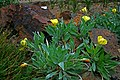 Oenothera macrocarpa 2.jpg
