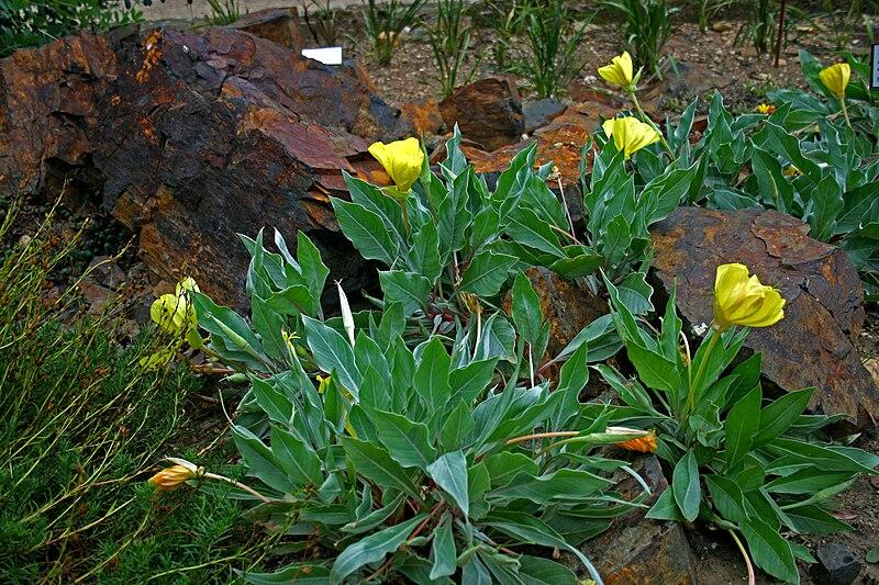 File:Oenothera macrocarpa 2.jpg