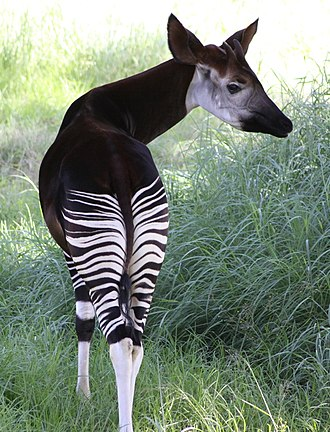 Okapi - Male okapi displaying its striking white stripes and short, hair-covered ossicones