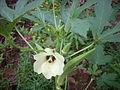 Okra flower.JPG