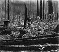 Old successful burn-Oregon-1909.jpg